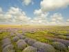 Lavendel field